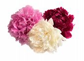 Three Different Color Peonies