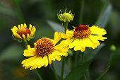 Yellow Helenium flowers