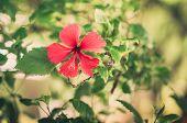Hibiscus Flower Vintage