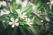 Frangipani Or Pagoda Tree Or Temple Tree Flower Vintage