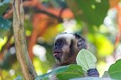 Capuchin Monkey With Tongue Out