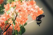 Paper Flowers Or Bougainvillea And Butterfly Vintage