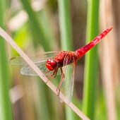 foto of ruddy-faced  - The Red dragonfly resting on a straw - JPG