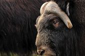 Musk Ox Closeup