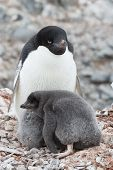 Adult Adelie Penguin And Chicks Sitting In Nest In Antarctica