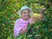 Elderly woman wearing a hat in a garden collects berries