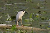 beautiful specimen of Night Heron