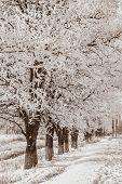 Acacia Trees In The Snow, Sepia