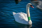 stock photo of trumpeter swan  - Trumpet Swan sporting a green band swimming in water - JPG