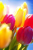 Close Up Of Tulip Flower Meadow Water drop In Front Of Sunny Blue Sky