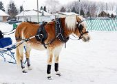 pic of yoke  - Haflinger horse pulling sleigh for winter obstacle cone driving - JPG