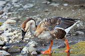 Swan Goose Full Body