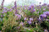 stock photo of quail  - quail - JPG