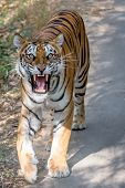 picture of growl  - Tiger on a road in India - JPG