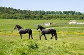 Horses Friesian.