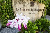 Lilies At Hotel Entrance, Seychelles