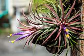 stock photo of tillandsia  - Tillandsia Tropical flower with morning and good weather - JPG