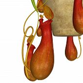 image of carnivores  - insectivorous plant  - JPG