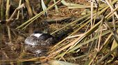 stock photo of shoreline  - a duck settles in for a nap among reeds and grasses of the shoreline - JPG