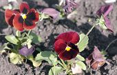 stock photo of viola  - image of many Red Viola at Spring