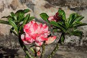 stock photo of desert-rose  - Tropical pink flower Desert rose  - JPG