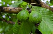 Fresh raw guavas on tree