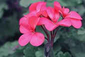 picture of geranium  - Red geraniums and blurred background - JPG