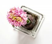 picture of monocots  - Beautiful Pink hyacinthus in a glass flowerpot on the white background - JPG