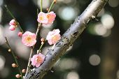 image of apricot  - Chinese Plum - JPG