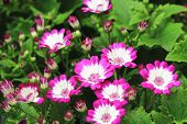 Cineraria flowers and buds