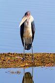 Marabu Stork, Nakuru Lake