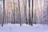 picture of birching  - Birch trees covered with snow in winter park - JPG