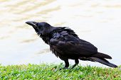 foto of grass bird  - black crow bird standing on green grass field - JPG