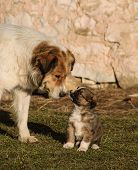 picture of shepherd dog  - Karakachan dog - JPG