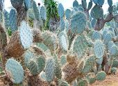 Path In Platyopuntia Cactus Garden