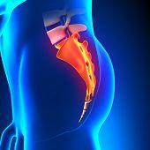 Sacrum Bone Anatomy Pain