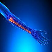 Ulna Bone Anatomy With Ciculatory System