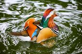 stock photo of duck pond  - A rear view of a mandarin duck swimming in a pond - JPG