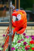 Scarlet Macaw On Iron Bar