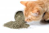 image of catnip  - Orange cat smelling dried catnip spilled over from container on white background
