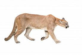 stock photo of cougar  - puma or cougar isolated on white background - JPG