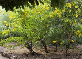 picture of cassia  - Blooming Cassia Tree - JPG