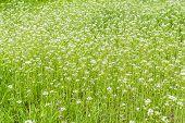 image of shepherds  - Lawn overgrown with shepherd - JPG