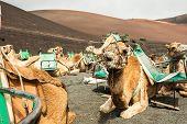 picture of caravan  - Caravan of camels in the desert on Lanzarote in the Canary Islands - JPG