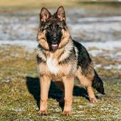picture of shepherd dog  - Beautiful Young Brown German Shepherd Puppy Dog Staying Outdoor In Spring - JPG