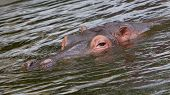 picture of hippopotamus  - Hippo face in the water  - JPG