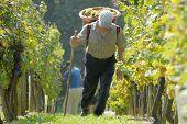 Grape - Picker, Carriers In Vineyard