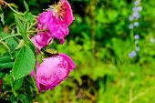 image of raindrops  - closeup of cockchafer sitting on a pink flower rose with raindrops in nature - JPG