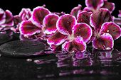 image of geranium  - beautiful spa still life of blooming dark purple geranium flower and beads on ripple reflection dark water closeup - JPG
