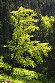 pic of bavaria  - Beech on the mountain Breitenstein in the Alps in Bavaria Germany - JPG